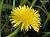 dandelion-super-sml
